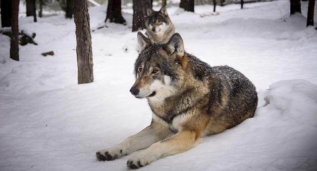 vlci na sněhu